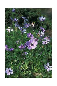 Flowers in March - Karpathos
