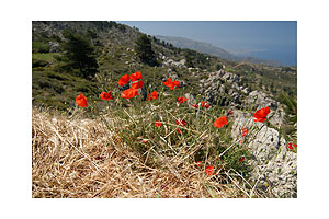 Flowers at the area of Lastos - Karpathos