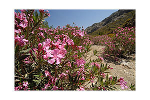 Oleander on the way to Achata